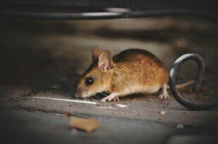 Come riconoscere la cacca di topo